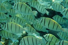 Strafgefangene Surgeonfish Acanthurus triostegus Stockbilder