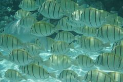 Strafgefangene Surgeonfish - Pez-cirujano Stockfotos