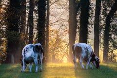 Strahl des Tageslichtes zwischen zwei Kühen Stockfotos