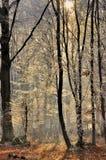Strahlen der Sonne im Winterwald Stockbild