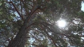 Strahlen der Sonne machen ihre Weise durch die Niederlassungen der alten Zeder stock video footage