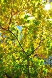Strahlen der Sonne unter dem gelb färbenden Herbstlaub Lizenzfreie Stockfotografie