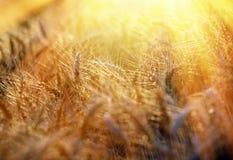 Strahlen der untergehenden Sonne belichtet das Feld des Weizens lizenzfreie stockfotografie