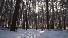 Strahlen der untergehender Sonne strömend durch Stämme von Kiefern im Winterwaldvorrat-Gesamtlängenvideo stock footage