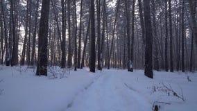 Strahlen der untergehender Sonne strömend durch Stämme von Kiefern im Winterwaldvorrat-Gesamtlängenvideo stock video footage