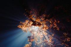 Strahlen des hellen weißen Lichtes durch die gelbe Laubeichennacht Stockfoto