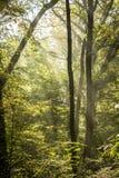 Strahlen des Lichtes auf einem magischen nebelhaften Wald II Stockfotografie