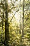Strahlen des Lichtes auf einem magischen nebelhaften Wald III Stockfotos