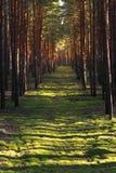 Strahlen des Lichtes im Herbstwald Stockbilder