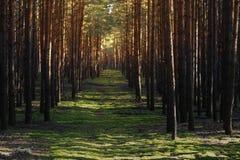 Strahlen des Lichtes im Herbstwald Stockfotografie