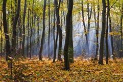 Strahlen des Morgens nebeln im Herbstwald ein stockfotos