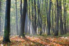 Strahlen des Morgens nebeln im Herbstwald ein lizenzfreie stockfotografie