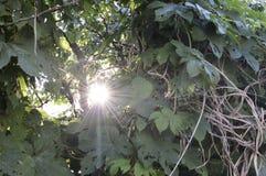 Strahlen des Sonnendurchlaufs durch Laub Lizenzfreies Stockfoto
