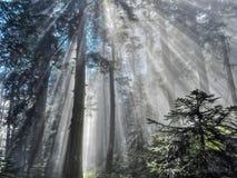 Strahlen des Sonnenlichts durch den Wald Stockfotos