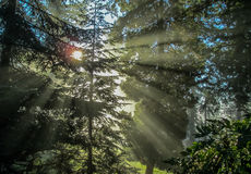 Strahlen des Sonnenlichts durch Evergreens 2 Stockfoto