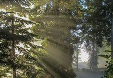 Strahlen des Sonnenlichts durch Evergreens 3 Stockbild