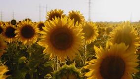 Strahlen, Sonnenblumen-Blumen wachsen auf dem Feld, Einfluss im Wind stock footage