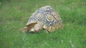 Strahlenschildkröte stock video footage