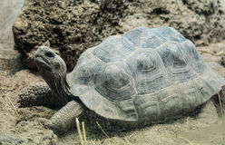 Strahlenschildkröte mit seinem Kopf oben Stockfotografie
