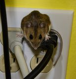 Straight on close up front view of a brown house mouse straddling two wires in an electrical outlet. A juvenile house mouse sitting in the middle of a four Stock Photo