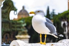 Straight confident look, seagull. Good quality close up portrait of a seagull. You may see white strong bird with bright yrllow beak and light grey wings Stock Images