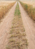 Straight directive country road through a wheat field. Single lane straight  country road  crossing  through a  golden wheat field  late in spring Royalty Free Stock Photos