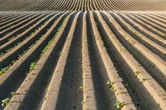 Straight dirt potato lines Royalty Free Stock Photos