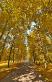 Straight footpat between bright gold trees Stock Images