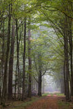 Straight ground road leading across forest. Straight ground road leading across misty autumnal deciduous stand with old trees,Bialowieza Forest,Poland,Europe Royalty Free Stock Photo
