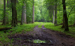 Straight ground road leading across forest. Straight ground road leading across misty late spring deciduous stand with old trees by Stock Photography