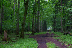 Straight ground road leading across forest. Straight ground road leading across misty late spring deciduous stand with old trees by Royalty Free Stock Photography