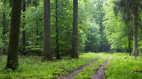 Straight ground road leading across forest. Straight ground road leading across misty late spring deciduous stand with old trees by Stock Photo