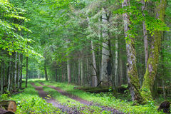 Straight ground road leading across forest. Straight ground road leading across misty late spring deciduous stand with old trees by,Bialowieza Forest,Poland Royalty Free Stock Photos