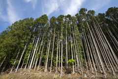 Straight grown forest royalty free stock images