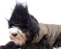 Straight hair dog. A little dog with the hair black Stock Photo