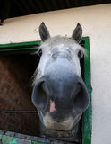 Straight from the horses mouth Royalty Free Stock Photo