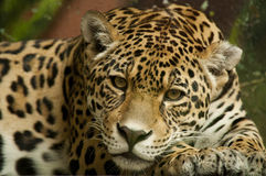 Straight jaguar look. Jaguar staring straight to the camera Stock Photography