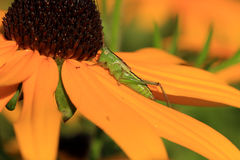Straight-lanced Meadow Katydid Royalty Free Stock Photography