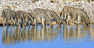 Straight line of zebras drinking from a waterhole with good reflection in Etosha. Large Herd / Dazzle of Burchells Zebra drinking from a waterhole with a natural Stock Photos