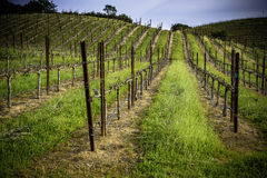 Straight lines of grape vines growing in the sunshine on gently rolling hills Stock Images