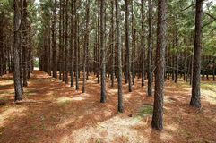 Straight lines of pine trees growing in a forest. A grove of pine trees planted in a straight line so they grow straighter and taller as a result of direct royalty free stock photos