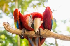 Straight looking Scarlett Macaw bird parrot in Macaw Mountain, Copan Ruinas, Honduras, Central America. Straight looking Scarlett Macaw bird parrot with red in stock photos