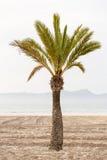 Straight Palm tree on a sand beach Stock Photos