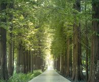 Straight path road. Straight path toward far away and pines on sunshine light Royalty Free Stock Photos