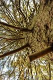 Straight pine tree branches Stock Images