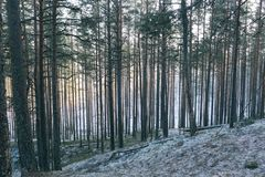 Straight pine trees in Tolkuse bog, Estonia on a sunny winter morning in January. stock photography