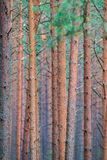 Straight pine trunks Royalty Free Stock Image
