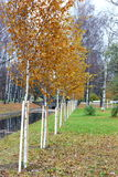 A straight row of planted young birch trees Royalty Free Stock Image
