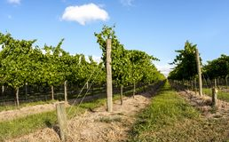 Straight rows of grape vine. Wine valley in Barossa, South Australia stock images