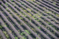 Straight rows of lavender bushes on a summer field Stock Image
